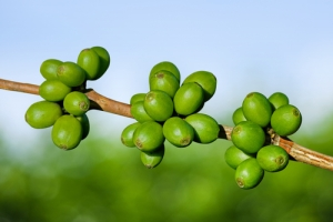Best Green Coffee Bean Extract For Weight Loss